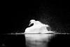 Le lac des cygnes (Maxime Legare-Vezina) Tags: oiseau bird animal nature canon blanc white wild wildlife louest passion monochrome noir black eau water faune