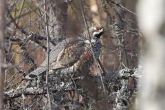 Hazelhoen - Hazel Grouse - Tetrastes bonasia (marcdeceuninck) Tags: birds vogels nature natuurfotografie finland hazelhoen hazelgrouse tetrastesbonasia gélinottedesbois