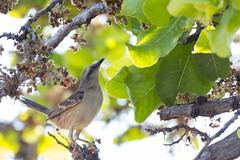I'm starving! (Ruy de Menezes Coitinho) Tags: brasil sabiádocampo mimussaturninus birds aves goiás natureza ornitologia pássaros avesdocentrooestebrasileiro