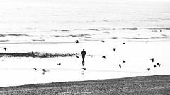 Taking Flight (Fourteenfoottiger) Tags: dog pet animal candid birds person man contrast fly flight mon monochrome blackandwhite street sea waves beach coast pebbles reflections silhouettes lowtide walking walk