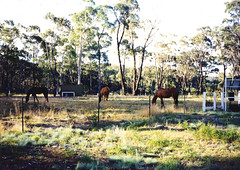 Horses 2 (55pmh) Tags: collection 1988 1999 by paul maresforest wombeyancaves maresforestroad 35mm film retro old richlands taralga 1989 1990 1991 1992 1993 1994 1995 1996 1997 1998 maresforestnationalpark ashwood horses oldphoto horse