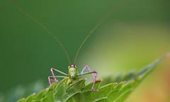 Grasshopper (JLM62380) Tags: grasshopper sauterelle criquet bug insecte macro nature green