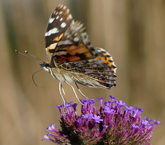 Painted Lady Butterfly taking off from a verbena flower (henry jurenka) Tags: paintedlady