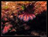 Coraili rouge (Corallium rubrum) (cquintin) Tags: cnidaria anthozoa alcyonaria gorgonacea coralliidae corallium rubrum