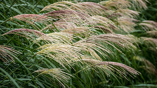 Grasses with Lines and Stripes