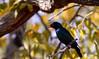 I am a blue bird , I am a blue bird ...I am a blue bird..... (setoboonhong) Tags: nature bird starling bluebird orange rimmed eyes shiny leaves tree bokeh depth field ghanzi campsite botswana redeye