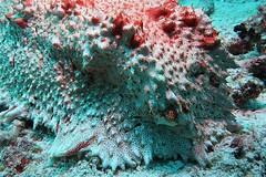 Large red Sea Cucumber in Raja Ampat (sarah.handebeaux) Tags: raja ampat indonesia indo pacific diving underwater coral finding nemo reef beautiful