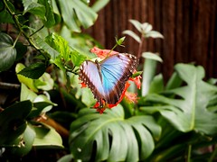 Butterflies (Kimberly_CH1993) Tags: blue butterfly vlinders aan de vliet flower hawaiin
