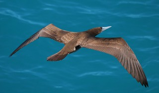 Brown Booby  (12)