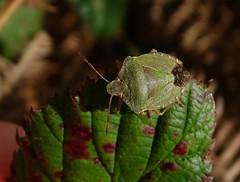 Palomena prasina (rockwolf) Tags: palomenaprasina punaise greenshieldbug insect pentatomidae hemiptera heteroptera lythhill shropshire rockwolf