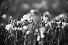 Life. (AloysiaVanTodd) Tags: analog argentique 35mm negativefilm natural bnw noiretblanc blackandwhite lomography ladygrey life france flowers nature city town grass herb escape light shades sombre