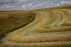 Canola Harvest (Edmonton Ken) Tags: alberta canola oil seed farm rural harvest drying rapeseed sky cloud blue white green brassica field line curve texture beautiful agriculture orange hilly