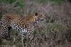 Indian Leopard (Vidjit Vijaysanker) Tags: leopard karnataka bandipur indianleopard indian niligiribiosphere canon canon6d canon500mmf4l canon500mm wildlife wild wildlifephotography greatnature spotted