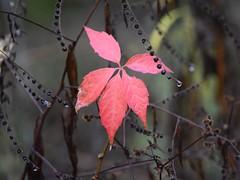 Change (marensr) Tags: morton arboretum red leaf foliage ivy seeds pods macro droplets rain drops nature