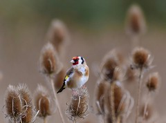 Goldfinch at Titchmarsh Nature Reserve, Aldwincle, Northants. UK (Ian J Hicks) Tags: