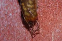 Arachtober 25 (Procrustes2007) Tags: arachnid arachtober macro nikond50 nikkor50mmais tamron2xteleconverter vivitarextensionrings68mmtotal flash greatcornard suffolk uk britain england slug limacusmaculatus steatoda scavenging mollusc