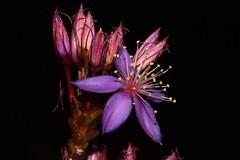 Calytrix leschenaultii (andreas lambrianides) Tags: calytrixleschenaultii myrtaceae australianflora australiannativeplants wildflowers westernaustralia purpleflowers