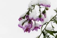 First snow on aster flowers (Hakuninmaa, Helsinki, 20171027) (RainoL) Tags: crainolampinen 2017 201710 20171027 aster asteraceae autumn cultivated finland firstsnow flower flowers fz200 geo:lat=6025123233 geo:lon=2487128735 geotagged hakuninmaa helsingfors helsinki håkansböle kaarela kårböle lilac nyland october plant plants snow uusimaa violet fin