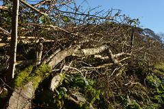 Lying Down On The job (Feversham Media) Tags: tranthwaitehallfarm hedgelaying cumbria thelakedistrict underbarrow southlakes southlakeland thebritishcountryside southcumbria