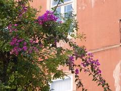 Pink and salmon (dlge) Tags: portugal lisbon lisboa trees floweringtrees buildings facades