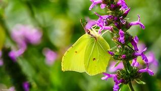le Souci -papillon