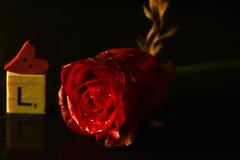 Love is blind (Chandana Witharanage) Tags: srilanka southasia macromondays sidelit rose freshrose button love background blackbackground naturallight coveredbyblackcardboards tabletop 7dwf wednesdaymacroorcloseups