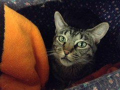 Jammy - 9 month old spayed female