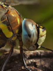 Migrant Hawker - Compound Eye (Visual Stripes) Tags: dragonfly odonata macro compoundeye closeup sigma105mm nature insect