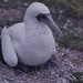 Masked booby. Chick on each foot not displaced as she turned to keep facing us and jabbing. Wizard Island