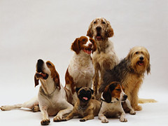 CB023357 (zamir0820) Tags: animals beagles brittanyspaniels canines carnivores colorphotography domesticanimals domesticdogs herdingdogs hounds huntingdogs mammals nobody pets photography pugs setters sheepdogs spaniels sportingdogs swisshounds toydogs workinganimals workingdogs dogs
