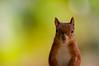 Red squirrels (Rupinder Khural) Tags: macro zoomlens day beautiful work fantastic explore innocent cute nikond300s nikon england uk brownsea island