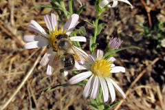 Dark honey bee on Pacific aster (TJ Gehling) Tags: insect hymenoptera bee apidae apis apismellifera plant flower asterales asteraceae aster pacificaster symphyotrichum symphyotrichumchilense asterchilense canyontrailpark elcerrito