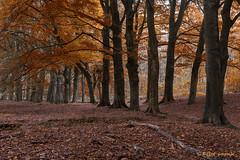 Herfst (www.petje-fotografie.nl) Tags: bomen gelderland ptjefotografie bos herfst
