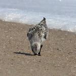 Sanderling thumbnail