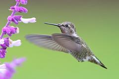 Another Anna's (Life of David) Tags: birdinflight california calypteanna usa wildlife annashummingbird beautiful beauty bird fierce hummingbird nature pretty world100f