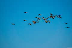 Canadian geese above the wetland (randyherring) Tags: ca california sky flight wetlands elkgrove recreational nature bird geese cosumnesriverpreserve outdoor canadagoose fall autumn brantacanadensis galt unitedstates us