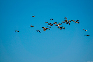 Canadian geese above the wetland