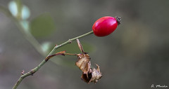 It is almost ripe. Ya casi está maduro (A. Muiña) Tags: semilla plant planta seed airelibre freshair naturaleza nature desenfoque macrofotografía bokeh macro nikon nikond800 color garden jardín fruto fruit vegetal vegetable rosa pink