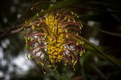 Big Nellie Hakea (dustaway) Tags: proteaceae hakea hakeaarchaeoides bignelliehakea inflorescence flowers australianshrubs endangered hunterregionbotanicgarden heatherbrae huntervalley nsw australia vulnerable australianplants