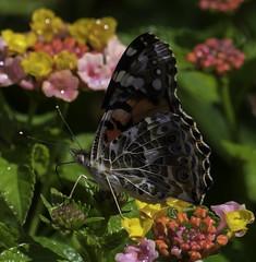 CommonBuckeye_SAF2618-2 (sara97) Tags: junoniacoenia buckeye butterfly commonbuckeye copyright©2017saraannefinke endangered insect missouri outdoors photobysaraannefinke pollinator saintlouis towergrovepark