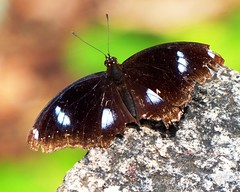 Great Eggfly (forest venkat) Tags: butterfly insect garden wood tree macro birds lovers sun sea asia china japan australia newzealand moscow sunset hiking chennai mumbai delhi india jungle nature berry pic mammal photo city finland poland animal forest bird landscape amsterdam wolf europe wind kide belgium france northeast grassland picture netherlands england elephant deer moon iceland flying species mountain bengal usa brazil canada newyork america north california country snake greentree