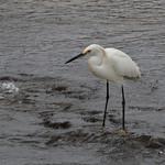 Snowy Egret - Long Island / NY thumbnail