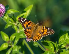Belle-dame / cosmopolitan butterfly/ vanessa cardui (Jean-Marc Cossette) Tags: cosmopolitan vanessacardui papillonbelledame butterfly paintedlady