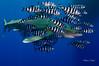 Oceanic whitetip shark (Carcharhinus longimanus) (Patxikun) Tags: carcharhinuslongimanus carcharhinus longimanus oceanic whitetipshark shark underwater redsea egypt nikon d300 tokina