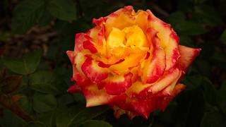 Rose (3779)