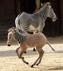 grevy zebra artis BB2A2561 (j.a.kok) Tags: zebra grevyzebra grevy´szebra equusgrevyi equus artis animal zoogdier dier mammal herbivore afrika africa