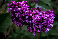 Fragrant Lilac (Chancelrie) Tags: outdoor plants leaves foliage spring may may2017 pnw pacificnorthwest vancouver bc britishcolumbia flower flowers blossom blossoms