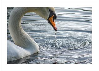 Drinking Swan