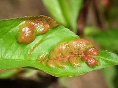 Taphrina deformans (ruiamandrade) Tags: taphrina deformans fungi taphrinaceae taphrinales ascomycota fungo nature natureza