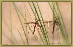 Duo ! (Armelle85) Tags: extérieur nature insecte macro